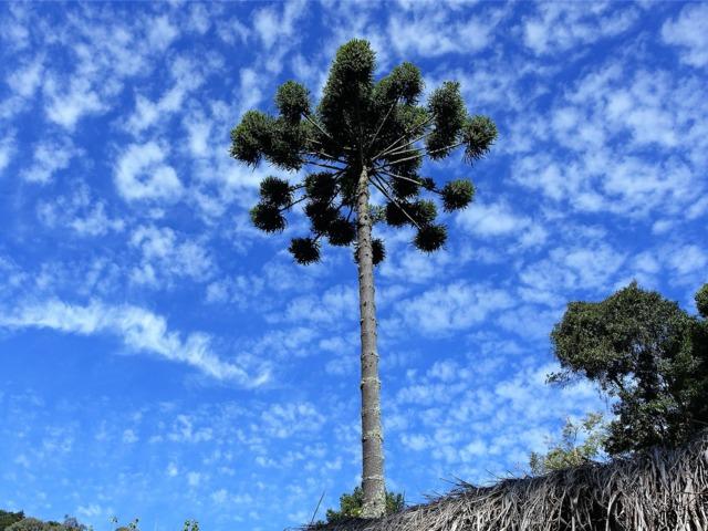 Araucaria angustifolia (Etonnants conifères)