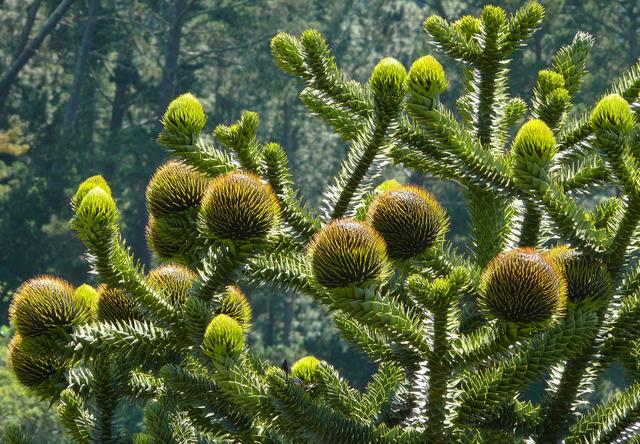 Araucaria araucana : cônes femelles (Etonnants conifères)