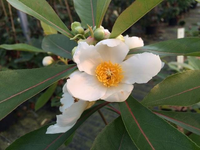 Gordlinia grandiflora : plantation, culture, entretien