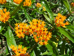 Asclépiade tubéreuse, Asclepias tuberosa