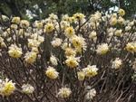 Edgeworthia, buisson papier