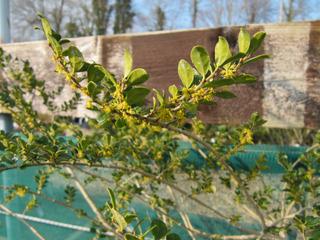 Azara microphylla en fleurs