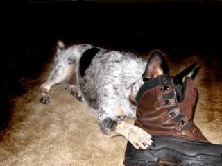 Chien mordillant une chaussure