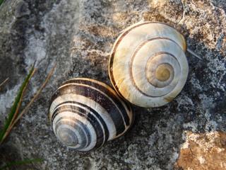 Escargots sur un mur