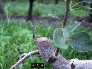Greffer un arbre fruitier en couronne : période, matériel, et comment faire