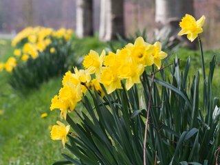 Narcisse : variétés, plantation et conseils d'entretien