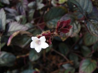 Strobilanthes à feuillage pourpre et fleur blanche