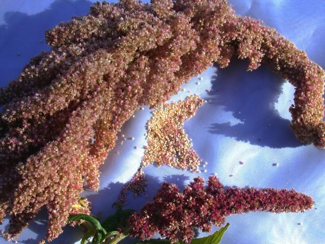 L'amarante, graines ou feuilles : bienfaits et comment la cuisiner