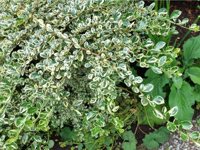 Azara microphylla, mimosa du Chili : plantation, culture, entretien