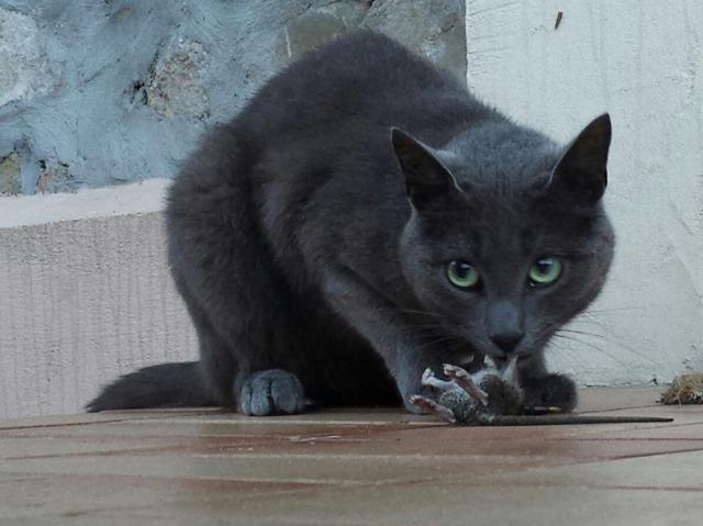 mon chat rapporte des animaux morts pourquoi. Black Bedroom Furniture Sets. Home Design Ideas