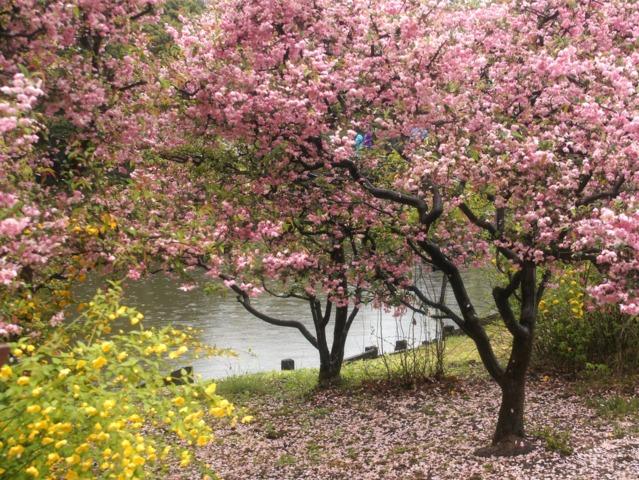 Cerisier d'ornement et corête du Japon en fleurs (Les premières floraisons de printemps)