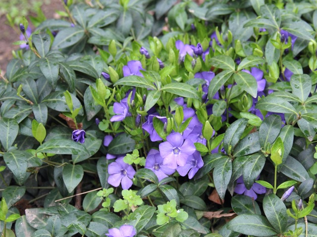 Petite pervenche (Vinca minor) (Les premières floraisons de printemps)