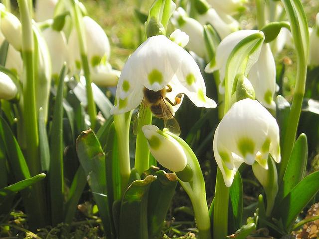 Nivéole de printemps (Leucojum vernum) (Les premières floraisons de printemps)