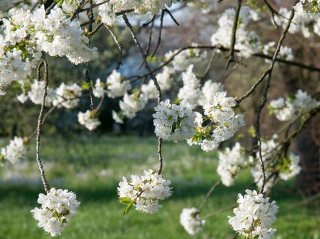 Cerisier en fleurs (Les premières floraisons de printemps)