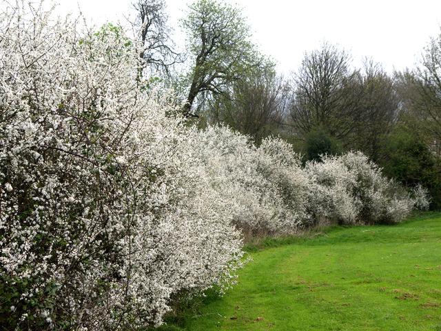 Haie champêtre d'aubépine en fleurs (Les premières floraisons de printemps)