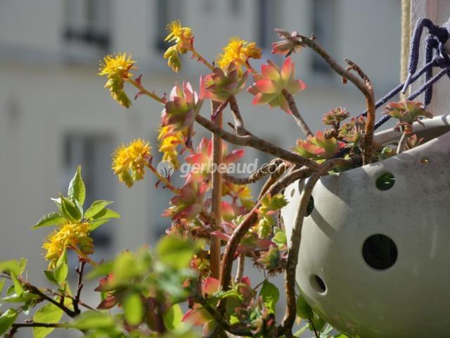 Sédums en fleurs  (Les premières floraisons de printemps)
