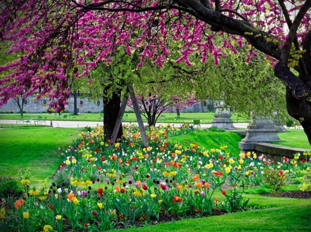 Arbre de Judée et parterre de tulipes (Les premières floraisons de printemps)