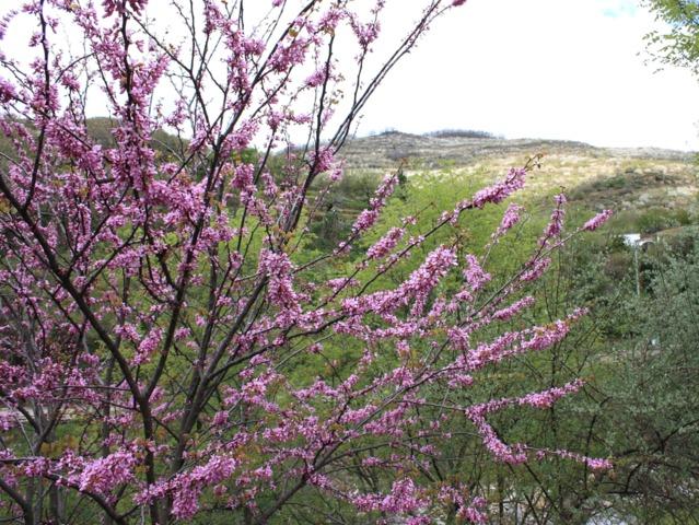 Cercis siliquastrum, arbre de Judée (Les premières floraisons de printemps)