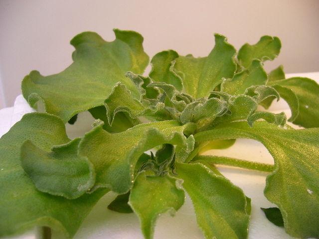 Ficoïde glaciale :  semis, culture, récolte
