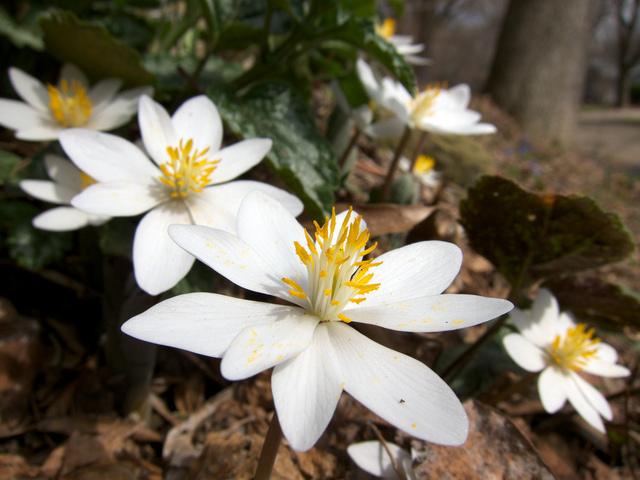 Sanguinaria canadensis, sanguinaire : plantation, culture, entretien