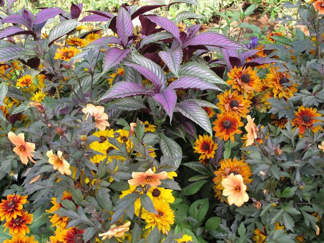 Les strobilanthes : espèces, culture et entretien