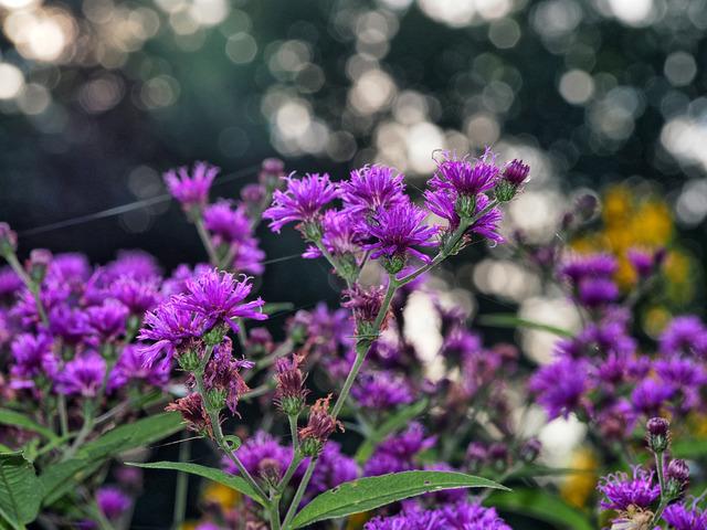 Vernonia : plantation, culture, entretien