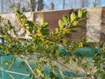 Azara microphylla, mimosa du Chili
