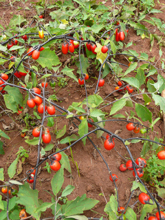 Solanum aethiopicum, aubergine africaine : semis, culture, récolte