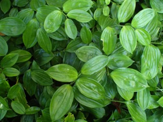 Disporopsis pernyi : plantation, culture, entretien