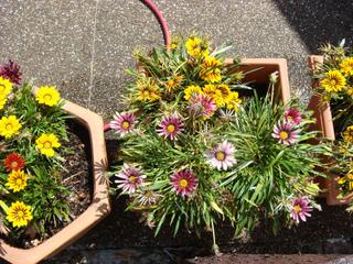 Fleurs longues durées pour jardinières : plantes pour le soleil et l'ombre