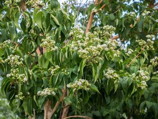 Heptacodium miconioides : plantation, culture, entretien