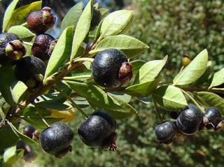 Myrtus chequen, Luma chequen, myrte du Chili : plantation, culture, entretien