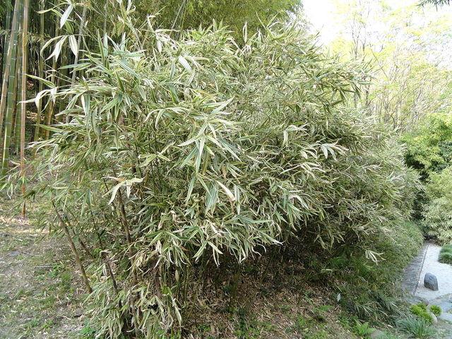 Hibanobambusa tranquillans : plantation, culture, entretien