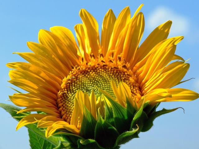 Tournesol : semis, culture et utilisation au jardin