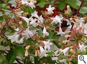 Les arbustes à fleurs - fiches pratiques