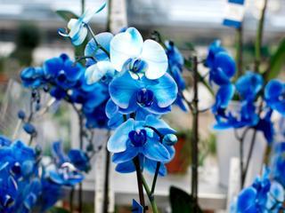 L'orchidée bleue