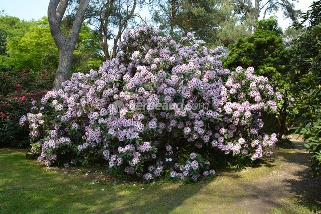 Le parc et ses rhododendrons en pleine floraison (Jardins et parc du Bois des Moutiers)