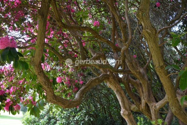 Rhododendron décoratif pour sa ramure et ses fleurs (Jardins et parc du Bois des Moutiers)