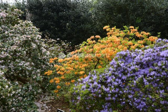 Azalée et rhododendrons (Jardins et parc du Bois des Moutiers)