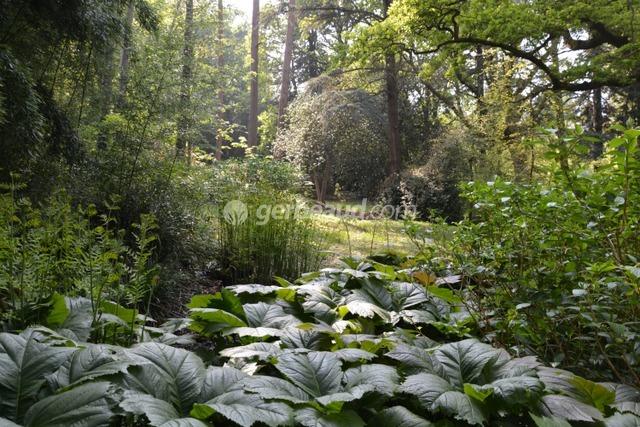 Rodgersia et osmonde royale (Jardins et parc du Bois des Moutiers)