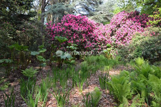 Gunnera manicata, fougères et rhododendrons (Jardins et parc du Bois des Moutiers)