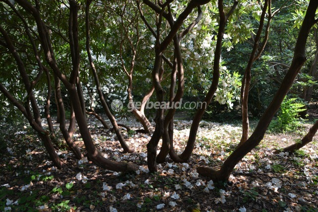 Ramure sculpturale des rhododendrons (Jardins et parc du Bois des Moutiers)