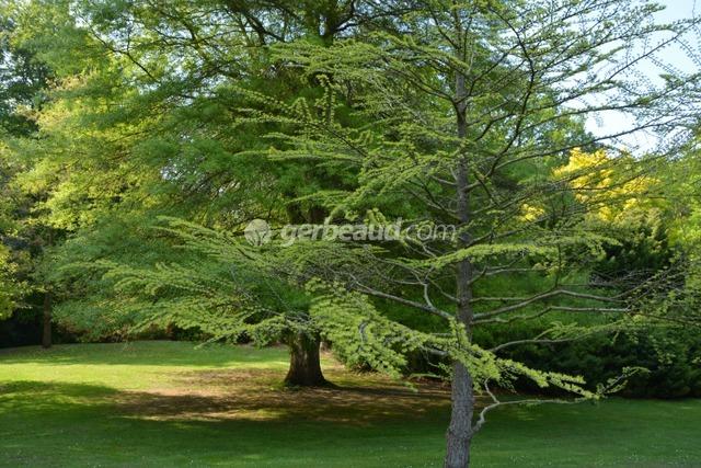 Pseudolarix amabilis et Quercus phellos (Jardins et parc du Bois des Moutiers)