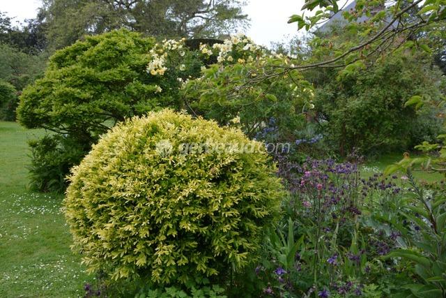 Topiaire de buis doré, ancolies et rosier jaune (Jardins et parc du Bois des Moutiers)