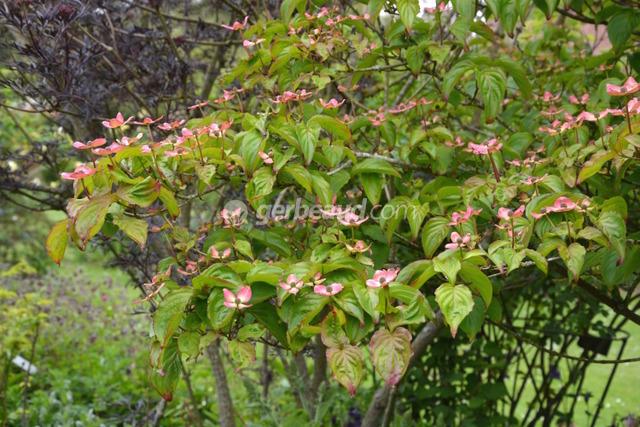 Cornus kousa 'Satomi' (Jardins et parc du Bois des Moutiers)