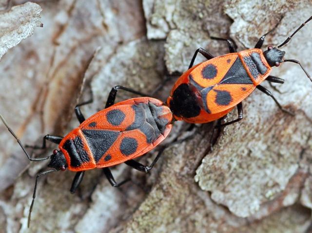 Le gendarme, un insecte inoffensif et utile