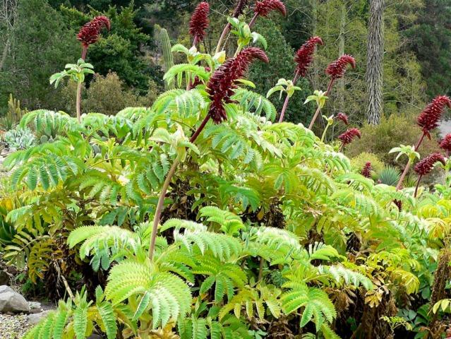 Melianthus major, grande mélianthe : plantation, culture, entretien