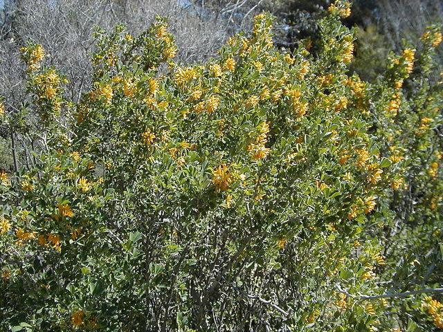 Luzerne arborescente, Medicago arborea : plantation, culture, entretien