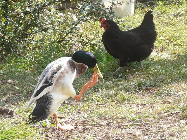 Cohabitation entre les poules et chiens, chats, autres volailles