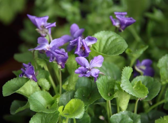 Viola odorata, violette odorante : semis, plantation, culture, entretien